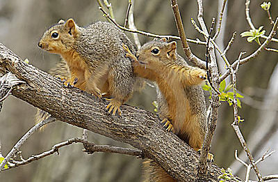 two squirrels (not having sex)